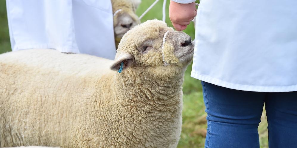 banner-sheep